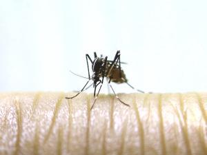 Mosquito-dengue-enfermedad